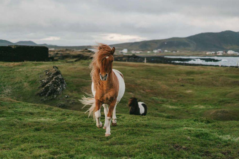 Flugreise Island - Pferd
